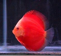 Red Discus THESE ARE BEAUTIFUL BUT NO OTHER TYPE WITH
