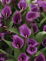 Purple Heart Calla Lilies