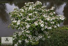 Viburnum plicatum 'Watanabe' - Kalina japońska 'Watanabe'
