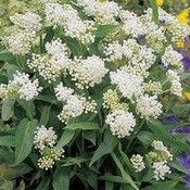 Butterfly Weed (Asclepias Incarnata White) - Asclepias Incarnata Ice Ballet is a marvelous long-blooming, bright white cousin of Butterfly Weed. It readily establishes from Asclepias flower seeds, and