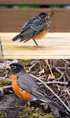 Baby Bird Identification Tips: American Robin