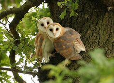 Barn Owls by Mike Rae