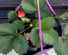 Cara Merawat Strawberry Di Dataran Rendah ~ Rumah Cherish 88