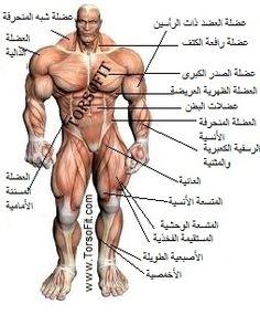 نظام عضلات الجسم Muscle Health Fitness Fitness