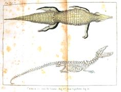 vintage prints amphibians and reptiles | Animal – Reptile – Alligator and skeleton | Vintage Printable at ...