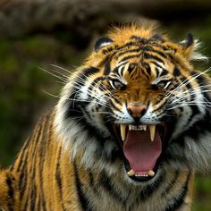 ~~ Eye of the Tiger ~~