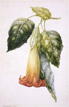 Title:  Datura rosei (Thorn Apple)  Maker:  Withers, A.I.; draughtsman; British artist, op. 1829-1865    Category:  drawing  Name:  drawing    School/Style:  British  Technique:  watercolour