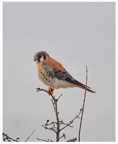 Teton Raptor Center - American Kestrel