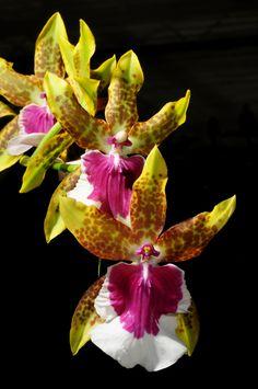 Intra-generic Orchid-hybrid: Miltonia Peter Komp (Miltonia leucoglossa x Miltonia schroederiana)