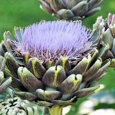 Cynara scolymus Plant
