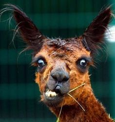 This llama is stressed because she just found out she has a bunch of cavities.
