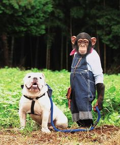 a place to share the Bulldog Love Funny Animal Pictures, Funny Animals, Cute Animals, Japanese Monkey, Bulldog Pics, Bulldog Puppies, Monkey See Monkey Do, Best Video Ever, Unlikely Friends