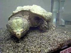 150 plus year old Alligator Snapping Turtle