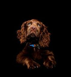 American Water Spaniel dog art portraits, photographs, information and just plain fun. Also see how artist Kline draws his dog art from only words at drawDOGS.com #drawDOGS
