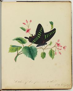 """""""A token of love from me, to thee""""  Page from Amy Matilda Cassey album drawn by Sarah Mapps Douglass, ca. 1833 depicting a black butterfly with the title """"A token of love from me, to thee."""" Douglass, an artist and prominent Quaker member of the Philadelphia African American elite community, was best known as an educator and anti-slavery activist. p-9764-p5"""
