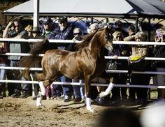 Royal Arabians - 8th Annual Farm Tour :: Arabian Horses, Stallions, Farms, Arabians, for sale - Arabian Horse Network, www.arabhorse.com