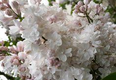 hs89288 p pflanzen baum strauch laubgeh lze niedrige magnolie susan garten. Black Bedroom Furniture Sets. Home Design Ideas