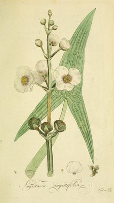 Sagittaria sagittifolia (Common Arrow-head). Plate from 'Flora Europaea Inchoata' (1797) by Johann Jakob Romer. Publisher Norimbergae : Ex Officina Raspeana The LuEsther T Mertz Library, the New York Botanical Garden