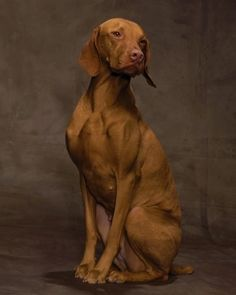 Vizsla  The vizsla's ancestors were bred in Hungary to hunt game with power and endurance, which means it needs lots of daily exercise in today's world, too -- note this dog's graceful strides. This gentle, affectionate, active dog is highly trainable. (photo by Robert Clark)
