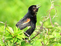 Red-winged Blackbird (young male): 29 July 2014, Dyke Marsh Park. Alexandria, VA, party sunny, 65 degrees, breezy, 9:00 a.m., in marsh near boardwalk