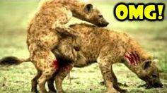 Top 10 Hyena Attack Wild Dog, Hyena vs Antelope | Most Amazing Wild Anim...