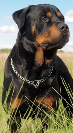 Four-year-old girl seriously injured in attack by Rottweiler – dogs – … - Dog Breeds Big Dogs, I Love Dogs, Dogs And Puppies, Doggies, Chihuahua Dogs, German Dog Breeds, Rottweiler Puppies, German Rottweiler, Beagle