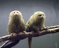 pygmy marmosets Pygmy Marmoset, Tiny Monkey, Primates, Creatures, Monkeys, Flora, Animals, Rompers, Animales