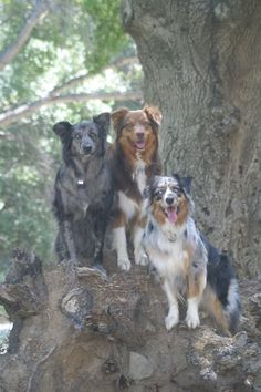 Australian Shepherds. They have the most interesting coats of any dog breed.
