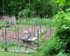 These tomato stakes were cut from an overgrown hedge.Click To Enlarge