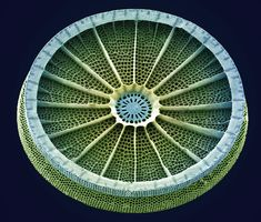 Diatom - The skeleton of a diatom, or frustule, is made of very pure silica coated with a layer of organic material