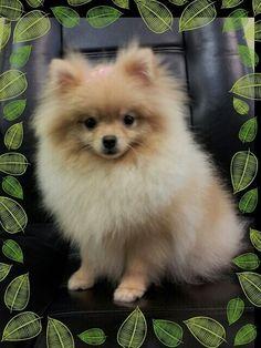 Pomeranian. Pom, dog, puppy, cream pom, fluffy