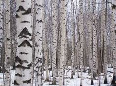 Birch winter scenery