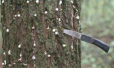 southern_pine_beetle01.JPG (500×300)