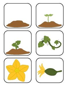 Here's a fun and FREE life cycle of an pumpkin activity! Science Area Preschool, Preschool Garden, Fall Preschool Activities, Kindergarten Science, Science For Kids, Educational Activities, Montessori, Pumpkin Pictures, Flashcard