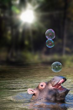 A baby hippo loving the air bubbles<3