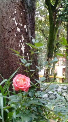 Rosas en flor y capullo en la Unidad Independencia