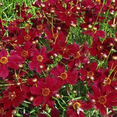 Coreopsis Ruby Red - Coréopsis à feuilles en aiguille