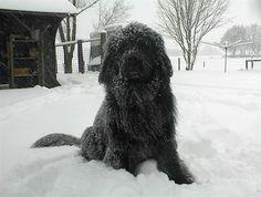 Newfoundland Dog in the snow