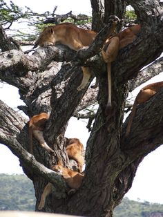A pride of 9 lions in a tree in the Serengeti, Tanzania, Africa