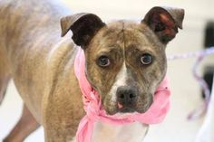 NAME: Colleen  ANIMAL ID: 27745843  BREED: Pit mix  SEX: female (spayed)  EST. AGE: 2 yr  Est Weight: 46 lbs  Health: heartworm neg, Otitis  Temperament: dog friendly, people friendly  ADDITIONAL INFO: RESCUE PULL FEE: $49  Intake date: 5/5  Available: Now