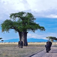 Is there more of a perfect #Tarangire image than this? The #elephants and #baobabs the area is so famous for pictured perfectly together.   Wild Frontiers runs a multitude of #Tanzania safaris including trips to beautiful Tarangire. To book a trip or find out more email reservations@wildfrobtiers.com today.   #africa #safari #WildFrontiers #baobab #elephant Tanzania, Elephants, Safari, Trips, Africa, Mountains, Book, Instagram Posts, Travel