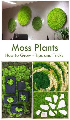Lets you know the right soil to plant your outdoor moss in.Looking to grow We offer you details on how to grow moss plants & create moss Eco-friendly houses using innovative techniques. We also share info on moss and moss wall art for your benefit Garden Wall Art, Diy Garden, Wall Garden Indoor, Garden Walls, Graffiti En Mousse, Growing Moss, Moss Wall Art, Moss Plant, Deco Nature
