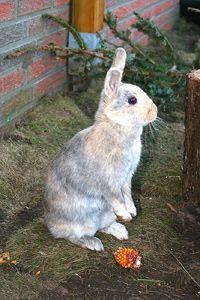 Das Benehmen von Kaninchen (Deutsch)