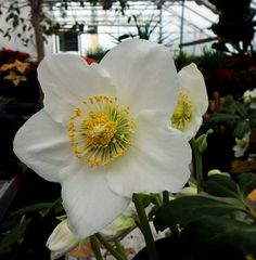 holiday hellebore