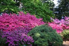 rhodies and evergreen
