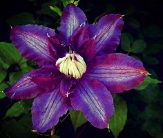 Countess of Lovelace by Epazia Espino purple flower blossom clematis garden nature