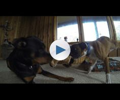 Duncan wrestles, plays tug o' war and as you can see, behaves just like any other 17 week old puppy. His brother and sister Mane and Roulette treat him just like any other member of our pack. Pretty amazing to watch.
