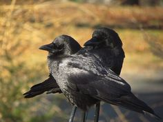American Crows — Claire Goldthwaite — Plymouth MA