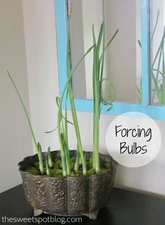 Forcing Bulbs http://thesweetspotblog.com/forcing-bulbs/ #forcing #bulbs #gardening