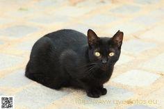 Gato domestico negro. Gato doméstico - Felis silvestris catus #animales #mascotas #felinos #gatos